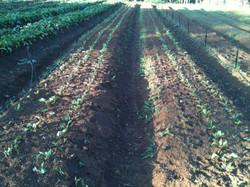 Plantando beterraba