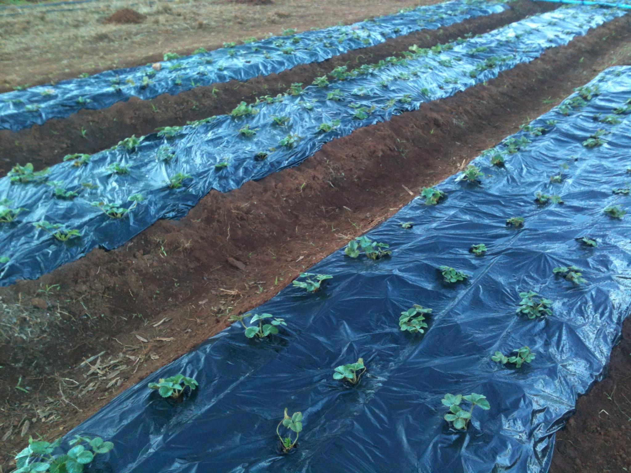 Plantio de morango
