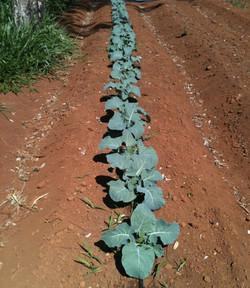 Plantando Couve Flor e Brócolis