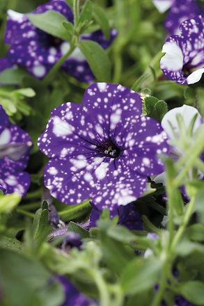 Petunia_Headliner_Night_Sky_Bloom_11960