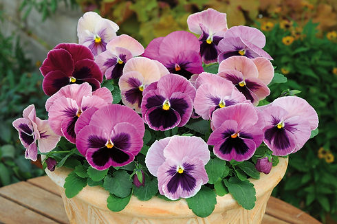 Pansy_Spring_Matrix_Pink_Shades_Containe