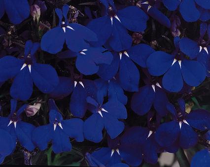 Lobelia_Riviera_Midnight_Blue_Bloom_6160