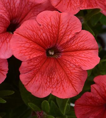 Petunia_Sun_Spun_Coral_Bloom_12103%20(1)_edited.jpg