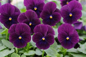 Viola_Sorbet_XP_Purple_Bloom_9543.jpg