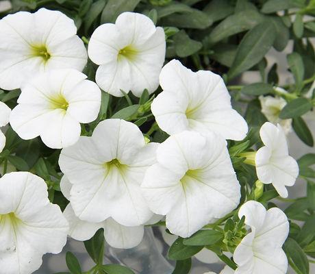 Calibrachoa_MiniFamous_Neo_White_Bloom_1
