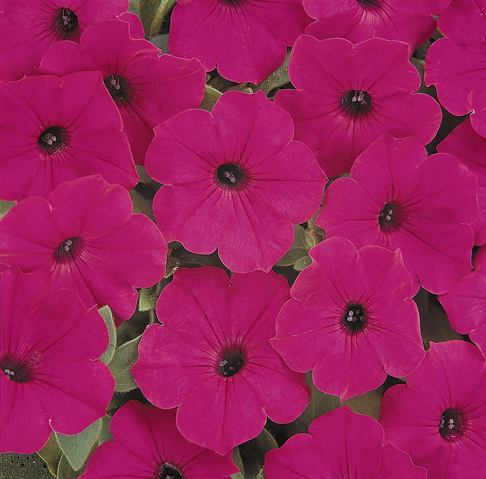Spreading_Petunia_Tidal_Wave_Purple_Bloo