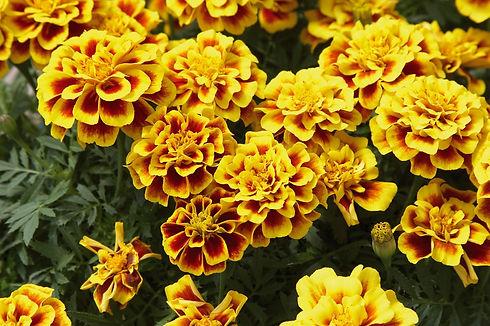 French_Marigold_Safari_Yellow_Fire_Bloom