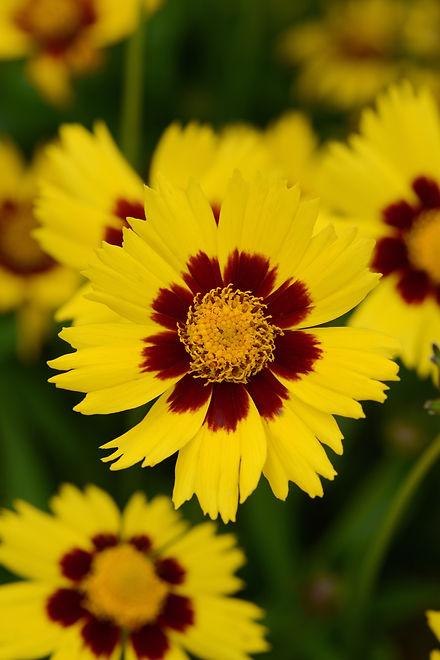 Coreopsis_SunKiss_Bloom_12174 (1).jpg