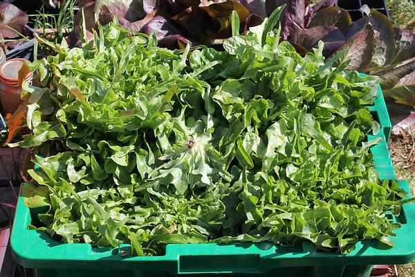 oak leaf lettuce.jpg