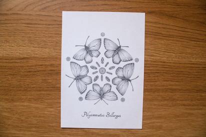 polyommatus2.jpg
