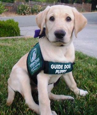 0212-guide-dog-puppy.jpg