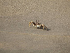 Looking for crabs on the beach