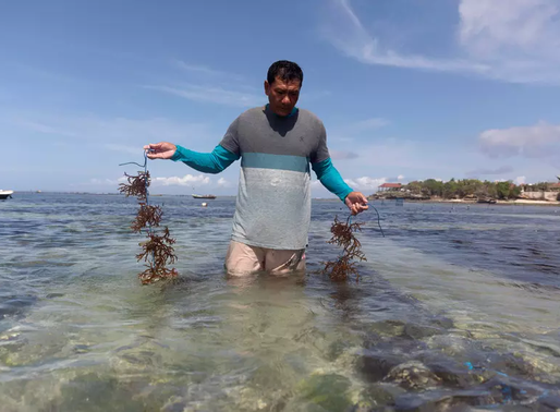 A new Bali; from sightseeing to seaweed