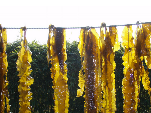 New report gives seaweed farming a big 'thumbs up'