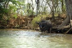 Buffalo - Kalaw