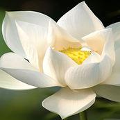 white-lotus-1.jpg
