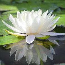 Fleur de Lotus blanche symbolisant la pureté, initiation au périné, Sandra grange