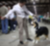 Australian Shepherd being shown in conformation ring