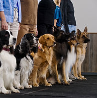 Dogs lined up in obedience