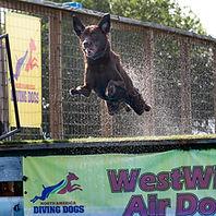 Labrador Retriever jumping dock diving