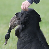 Dog with bird in its mouth in field trial