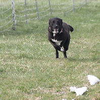 Dog chasing the lure in a Fast CAT competition