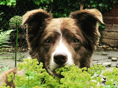 Living with a Sensitive Border Collie