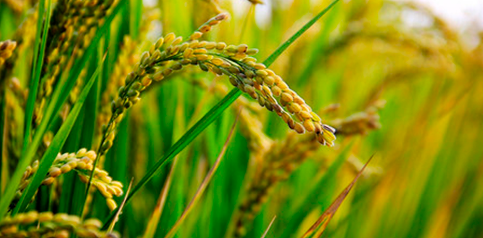 arroz_3.png