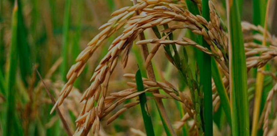 arroz_2.png