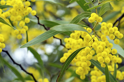 FIG wattle full size.png