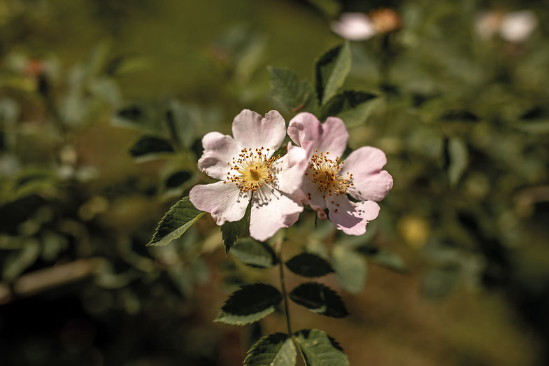 Heckenrose-Pflanzenbilder-UrmutterEssenz
