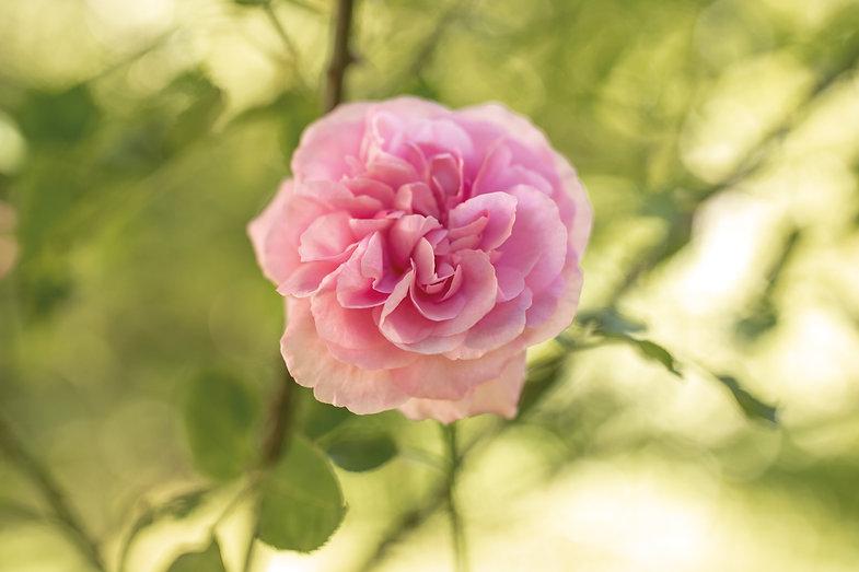 Rose-Pflanzenbilder-UrmutterEssenz.jpg