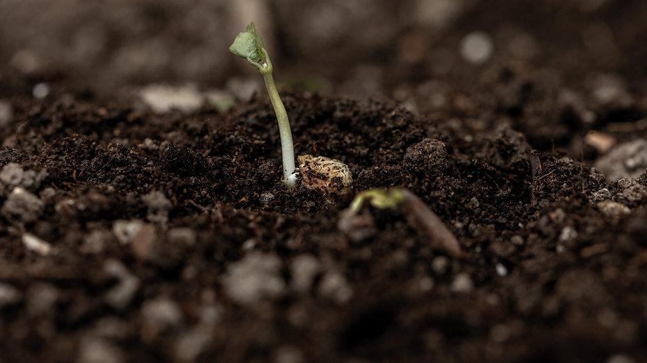 Samenkorn-Pflanzenbilder-UrmutterEssenz_