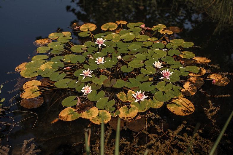 Seerose-Pflanzenbilder-UrmutterEssenz.jp