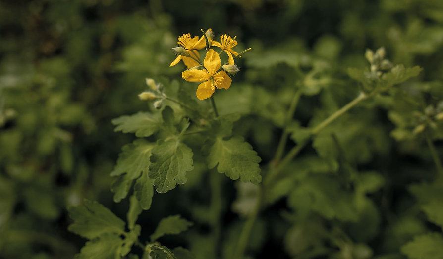 Scho%CC%88llkraut-Pflanzenbilder-Urmutte