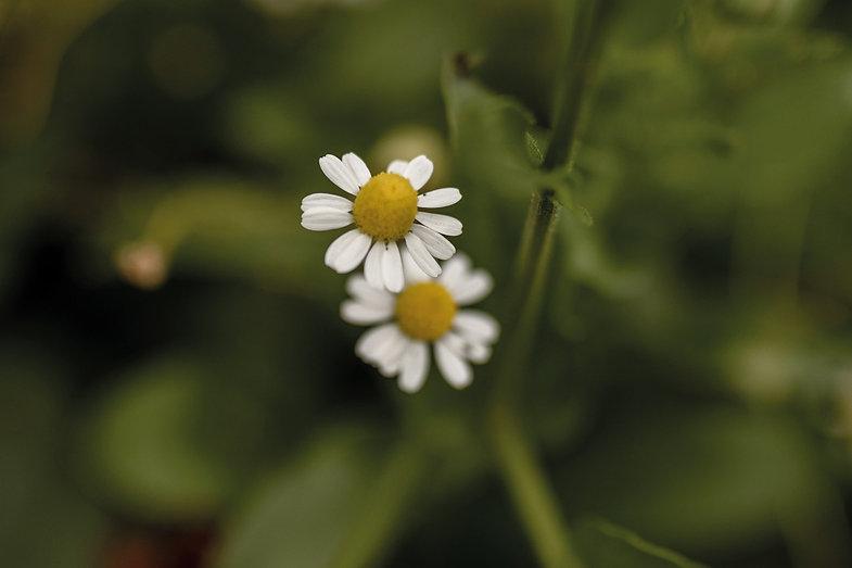 Kamilie-Pflanzenbilder-UrmutterEssenz.jp
