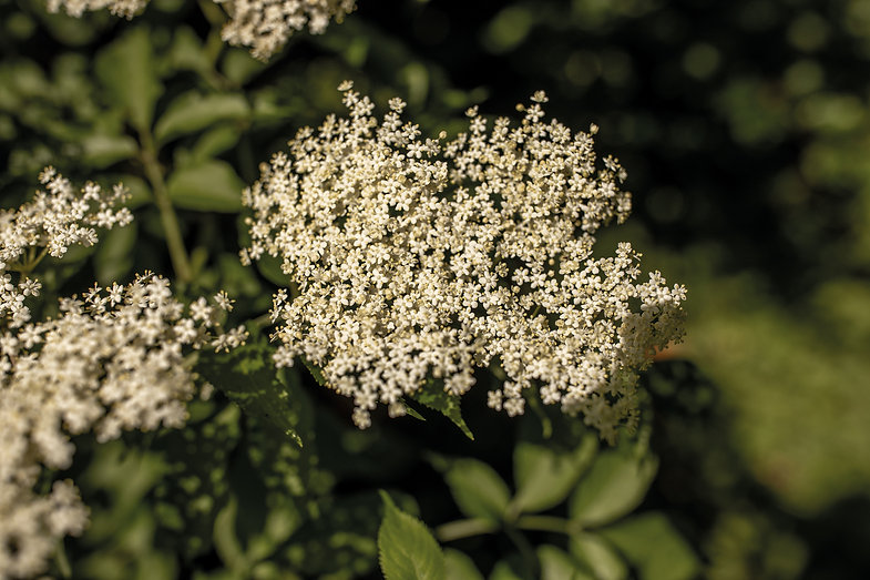 Holunder-2-Pflanzenbilder-UrmutterEssenz