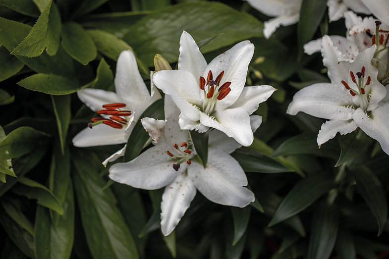 Lilie-Pflanzenbilder-UrmutterEssenz.jpg