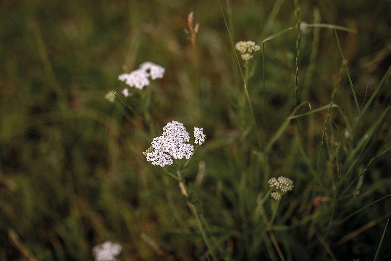 Schafgarbe-Pflanzenbilder-UrmutterEssenz