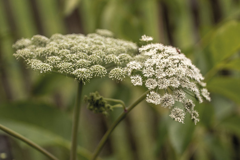 Engelwurz-Pflanzenbilder-UrmutterEssenz