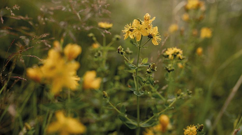 Johanniskraut-Pflanzenbilder-UrmutterEss