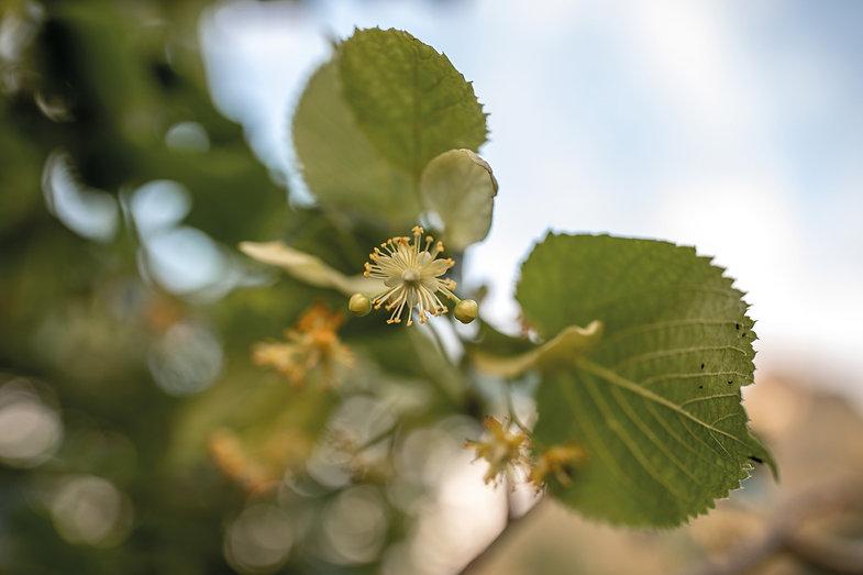 Lindenblüte-Pflanzenbilder-UrmutterEsse