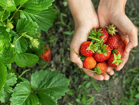Applikation för att effektivisera jordgubbsodling - Rödsgubben