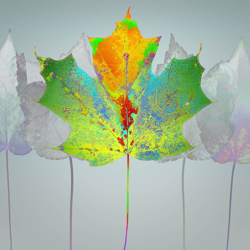 Platinum Maple Leaf Rag SM .jpg