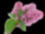 kisspng-purple-syzygium-aromaticum-flowe