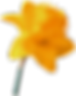 kisspng-daffodil-narcissus-yellow-flower