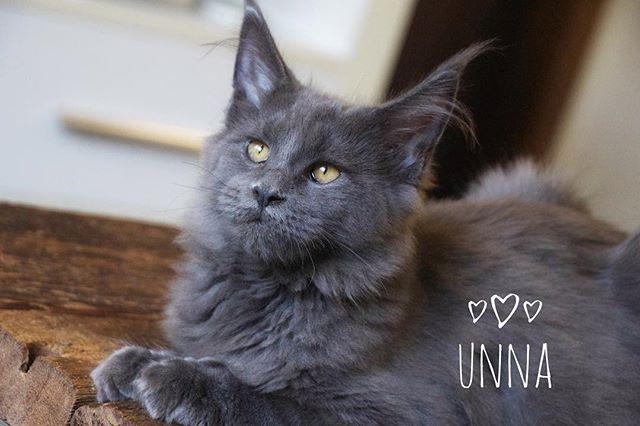 Unna - 6 meses 💕💕💕 #gatilallesblau #allesblaumc #kittensofinstagram #kittenmainecoon #bluemaineco