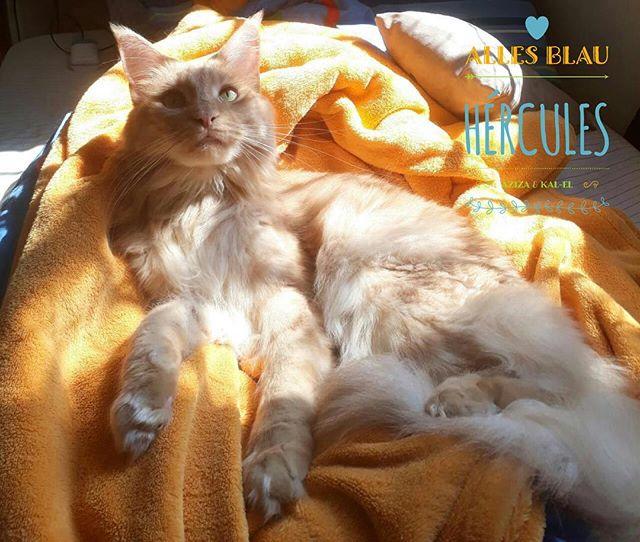 Hércules, gatuno dengoso 💛💛💛 #allesblaumc #gatilallesblau #creammainecoon #creamcat #mainecoon #m