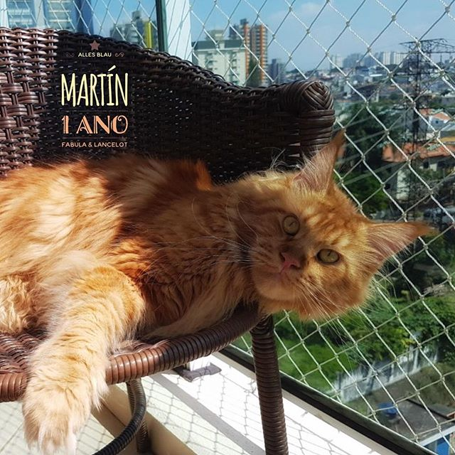🧡 Martín 🧡 #allesblaumc #gatilallesblau #redcat #redmainecoon #mainecoon #mainecoon_id #mainecoonc
