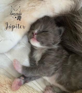 Júpiter - Macho Blue White